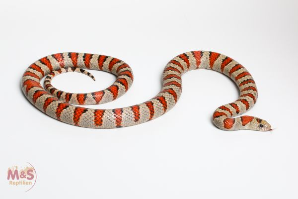 1.0 (Male) Mexiko Königsnatter , 90-100cm NZ´10 Lampropeltis mexicana greeri (Originalbild)