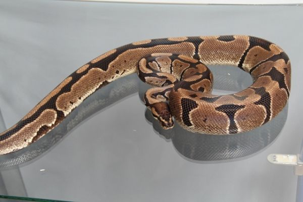Female (0.1) Jungle Ball, ca. 2,2 Kg FZ´05 Python regius