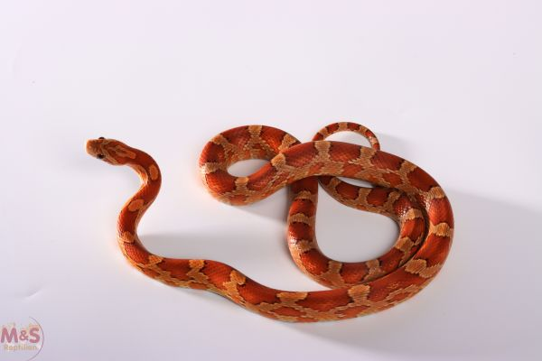0.1 (Female) 100% hetero Scaleless Kornnatter (ca.30cm) NZ´20 Pantherophis guttatus