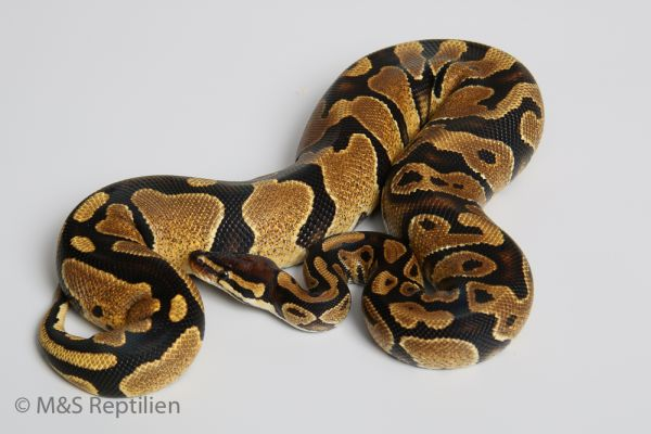 0.1 (Female) Genetic Jungle - Yellowbelly NZ'DSV´15 Python regius