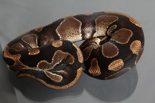 "Male (1.0) Question / ""Odd"" Ball, ca. 1,2 Kg FZ´07 Python regius"