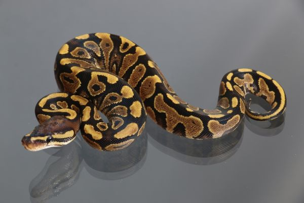 Female (0.1) Yellowbelly (African ranched)ca.1400g. FZ´15 Python regius