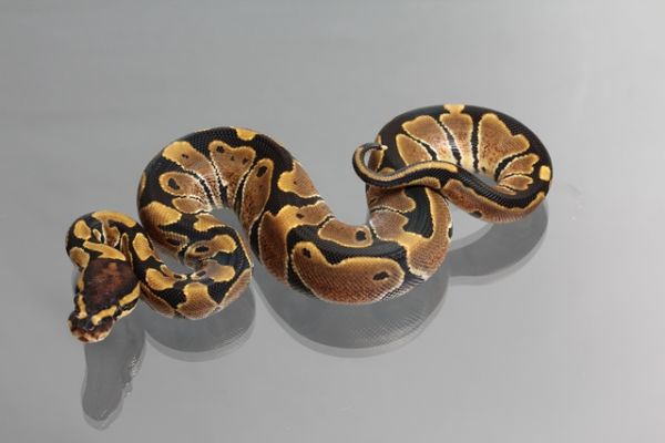 Female (0.1) Genetic Jungle Ball, ca. 1200g NZ´M&S´12 Python regius