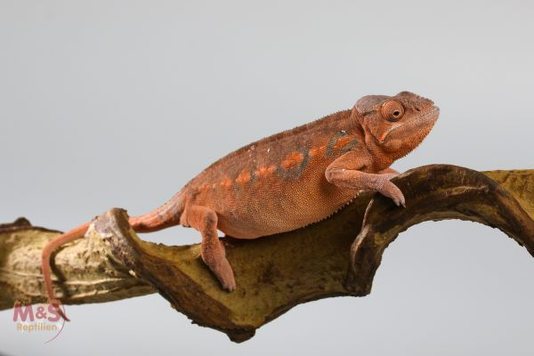 0.1 (Female) Pantherchamäleon (Ambilobe Red) NZ´20 Furcifer pardalis (Foto symbolisch!)