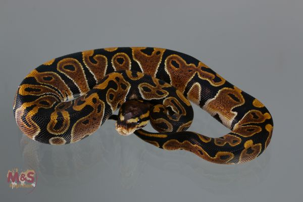 0.1 (Female) 100 % DH Scaleless Head ( het Scaless ) hetero Piebald Königspython NZ´M&S´19 Python re