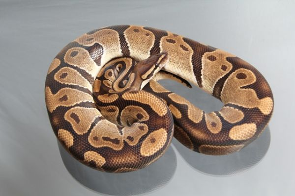 "Female (0.1) Question / ""Odd"" Ball (Het. Njama?), ca. 1,5 Kg NZ´M&S´05 Python regius"