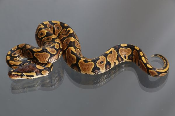 Female (0.1) Yellowbelly (African ranched)1500g. FZ´15 Python regius