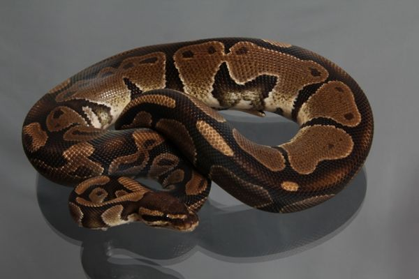 "Male (1.0) Question / ""Odd"" Ball, ca. 900g FZ´09 Python regius"
