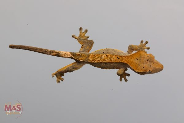 0.1 (Female) Pinstripe Kronengecko ( medium ) NZ´18 Rhacodactylus c.(Originalbild)