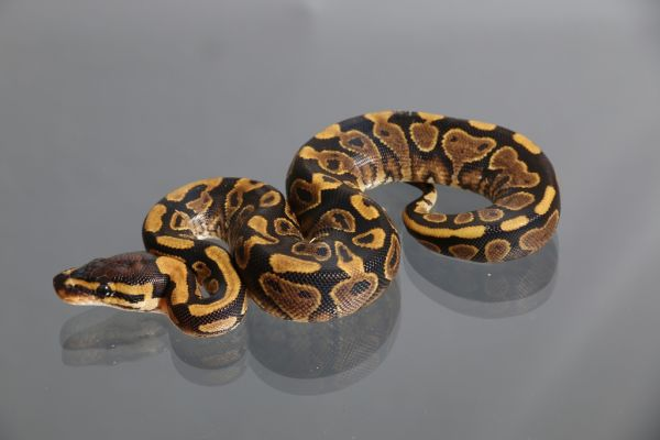 Female (0.1) Yellowbelly (African ranched)1400g. FZ´15 Python regius