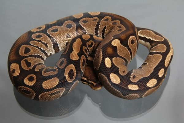 "Female (0.1) Question / ""Odd"" Ball, ca. 800g FZ´08 Python regius"
