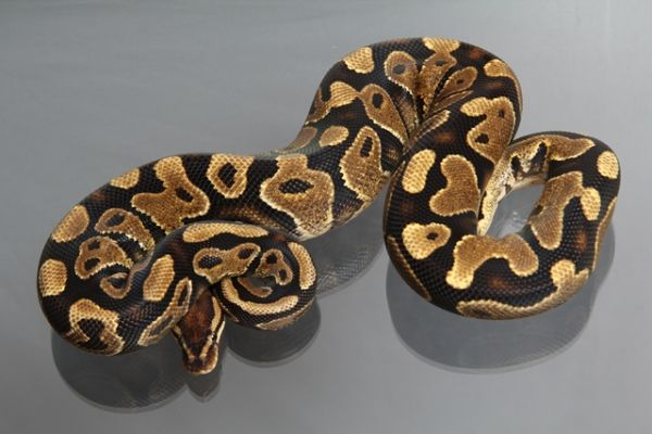 Female (0.1) Fire Yellowbelly Ball, 2500g NZ´M&S´11 Python Regius