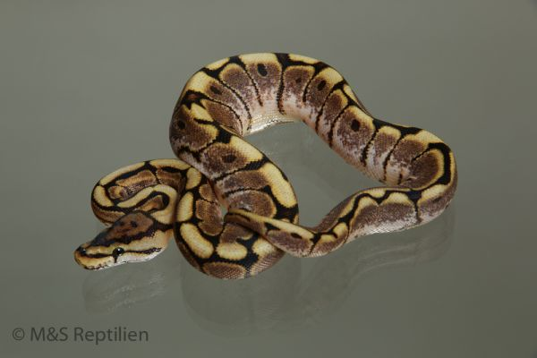 Female (0.1) Gravel (Highway-Maker) - Spide 1500g.r NZ´M&S´15 Python regius