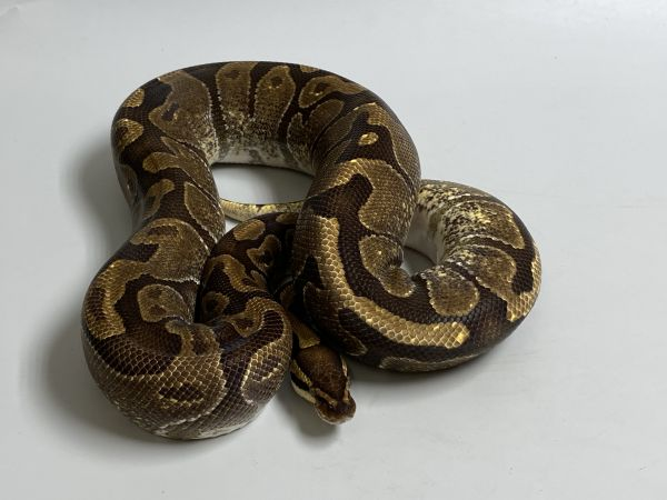 Female (0.1) Enchi - Genetic Jungle ca.2100g NZ´M&S´15 Python regius