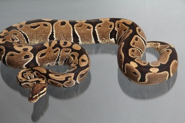 "Female (0.1) Question / ""Odd"" Ball, ca. 1,0 Kg FZ´09 Python regius"