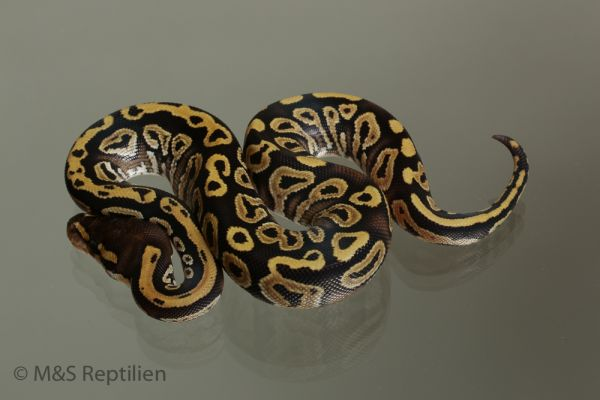 Male (1.0) Mojave - Gravel (Highway-Maker) 1100g. NZ´M&S´15 Python regius