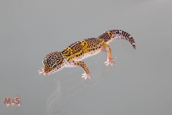 1.0 (Male) Wild Typ Leopardgecko (medium) NZ´19 E. macularius (Originalbild)