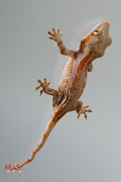 Höckerkopfgecko (Red Orange Striped) ( small ) NZ´18 Rhacodactylus auriculatus (Originalbild)