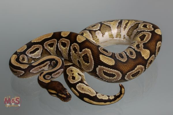 Angebot: 0.1 (Female) Mojave NZ´M&S ADULT (Ready to Breed) Python regius