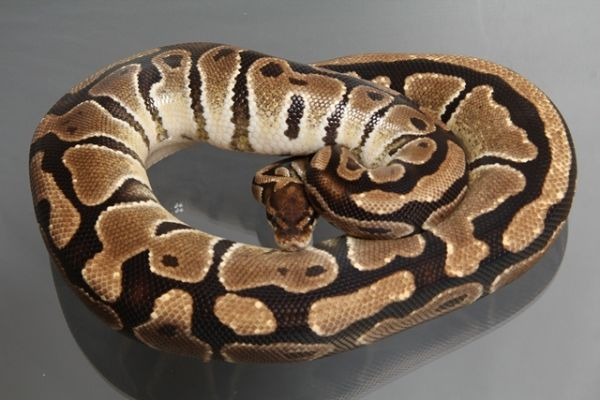 Female (0.1) Jungle Ball, ca. 1,7 Kg FZ´08 Python regius