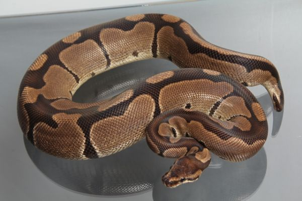 "Female (0.1) Question / ""Odd"" Ball (Banded), ca. 1,8 Kg FZ´08 Python regius"