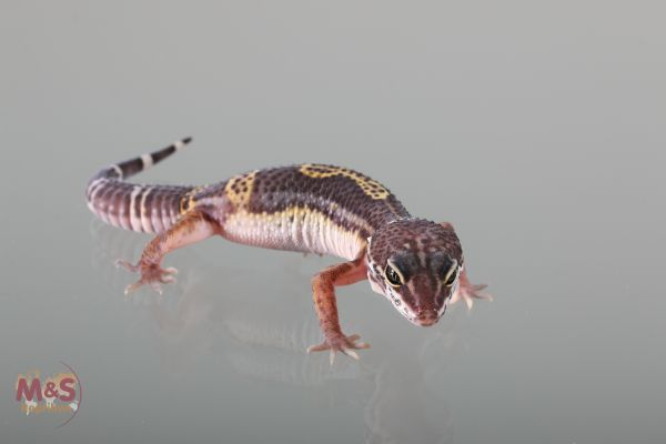 0.1 (Female) Black Night Leopardgecko (medium ) NZ´18 E. macularius (Originalbild)