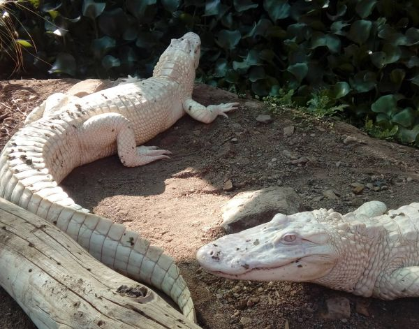 albino mississippi alligator nz 39 ca 170 cm alligator mississippiensis frisch eingetroffen. Black Bedroom Furniture Sets. Home Design Ideas