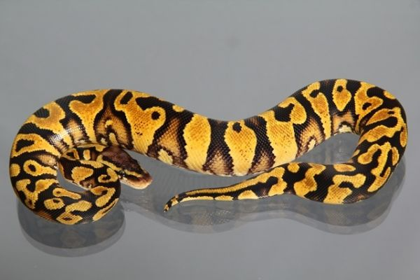 Male (1.0) Pastel-Yellowbelly, ca. 1000g NZ´M&S´13 Python regius
