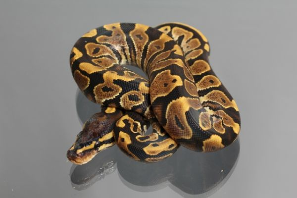 Female (0.1) Yellow Belly, ca. 1700g NZ´M&S´12 Python regius