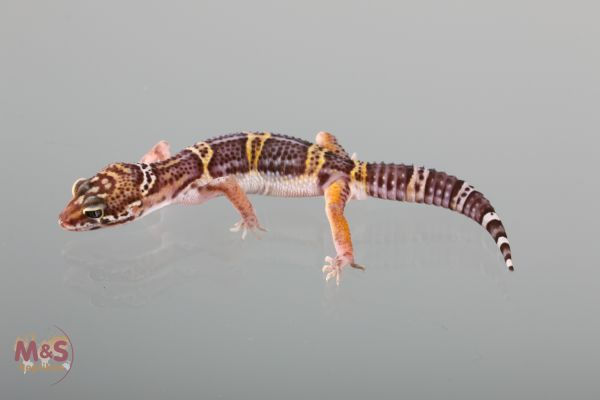1.0 (Male) Black Night Leopardgecko (medium ) NZ´18 E. macularius (Originalbild)