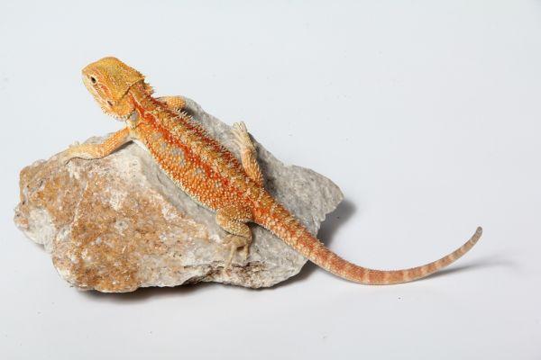 Sandfire Bartagame (ca. 20cm) NZ´20 Pogona vitticeps