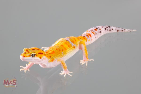 1.0 (Male) Tangerine Leopardgecko (medium) NZ´19 E. macularius (Originalbild)