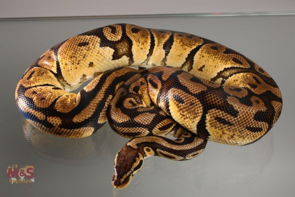 Angebot: 0.1 (Female) Pastel NZ´M&S ADULT (Ready to Breed) Python regius