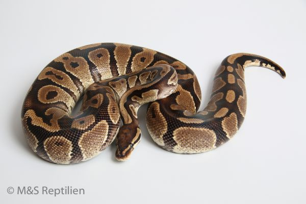 Female (0.1) Yellowbelly ca2000g NZ´M&S´05 Python regius