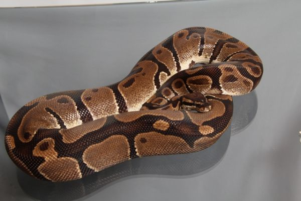 "Female (0.1) Question / ""Odd"" Ball, ca. 2,0 Kg FZ´08 Python regius"