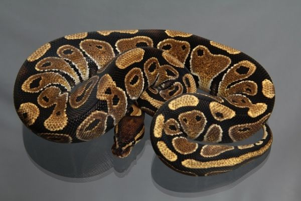 Female (0.1) Genetic Jungle, ca. 600g NZ´M&S´11 Python regius
