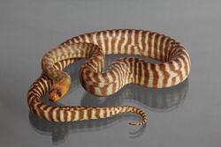 1.0 (Male) Kronengecko ( ohne Schwanz-medium ) NZ´18 Rhacodactylus c.(Originalbild)
