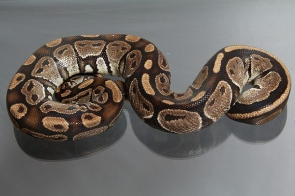 "Female (0.1) Question / ""Odd"" Ball, ca. 1,4 Kg FZ´06 Python regius"