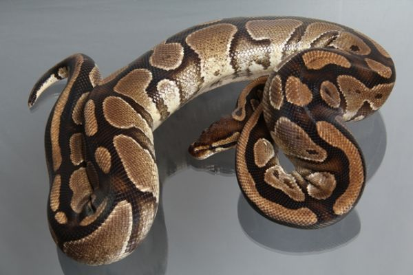 "Female (0.1) Question / ""Odd"" Ball, ca. 2,0 Kg FZ´07 Python regius"