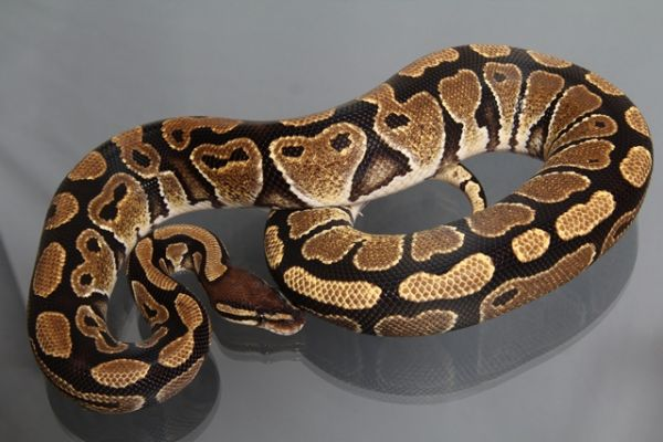 "Female (0.1) Question / ""Odd"" Ball, ca. 1,0 Kg FZ´10 Python regius"