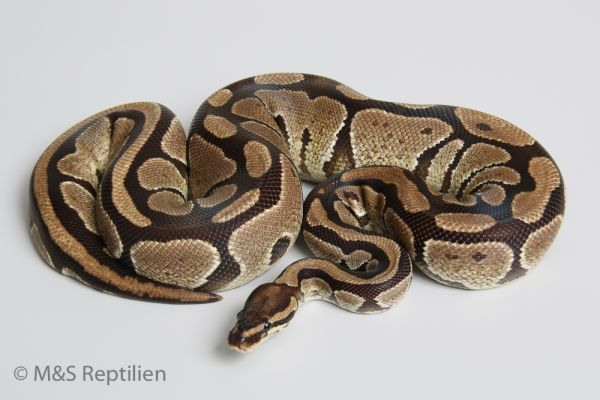 0.1 (Female) Yellow Belly, NZ´M&S'ADULT ( Ready to Breed) Python regius