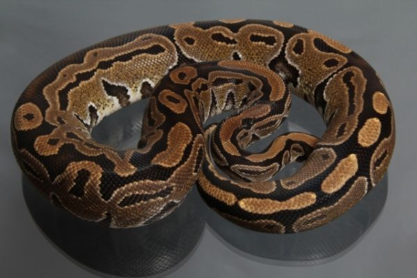 Female (0.1) Genetic Jungle, ca. 1,8 Kg NZ´M&S´08 Python regius