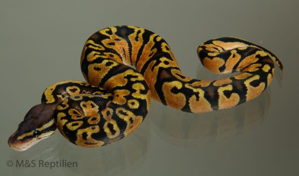 female (0.1) Pastel - Jungle - Gravel (Highway-Maker) NZ´M&S´15 Python regius