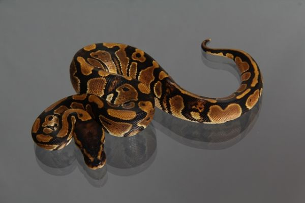 "Female (0.1) Question / ""Odd"" Ball (Paradox) NZ´M&S´13 Python regius"