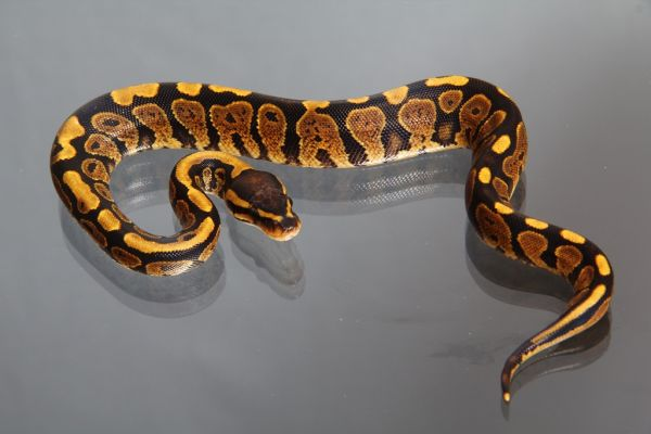 Female (0.1) Yellowbelly (African ranched), ca. 1400g FZ´14 Python regius