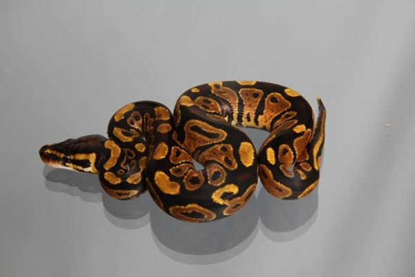 0.1 ( Female) Yellowbelly NZ´M&S ADULT ( ca. 1,2-2,0 kg) Python regius