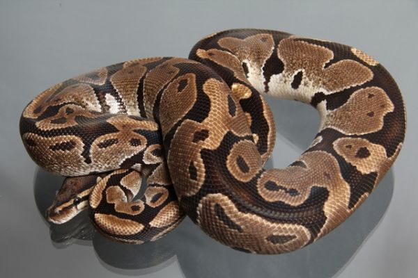 "Female (0.1) Question / ""Odd"" Ball, ca. 1,4 Kg FZ´08 Python regius"
