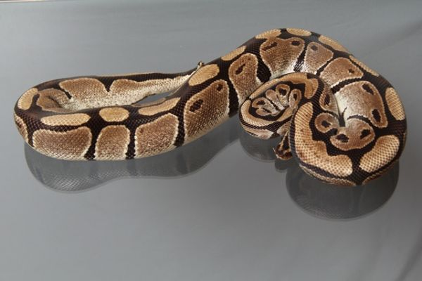 "Female (0.1) Question / ""Odd"" Ball, ca. 1,6 Kg FZ´03 Python regius"