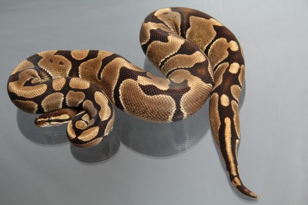 "Male (1.0) Question / ""Odd"" Ball, ca. 1,0 Kg FZ´10 Python regius"