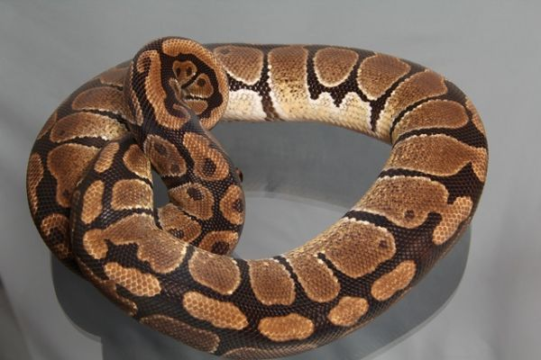 Female (0.1) Genetic Jungle, ca. 1,5 Kg NZ´M&S´08 Python regius
